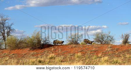 Kalahari Desert, Namibia. Blue Wildebeest Antelopes