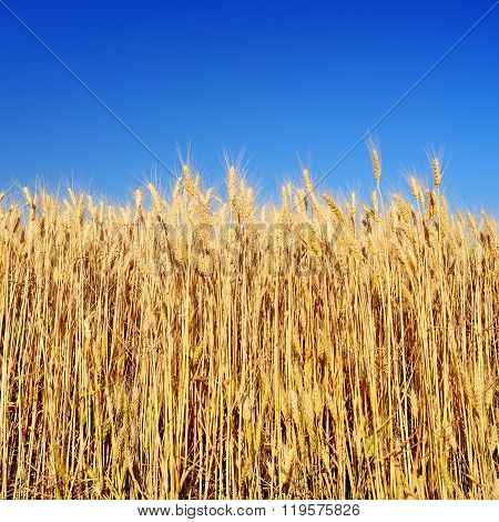 Ripe Wheat Ears And Blue Sky