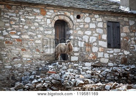 Sheep on the walls of a deserted house in Kastro, Thassos, Greece