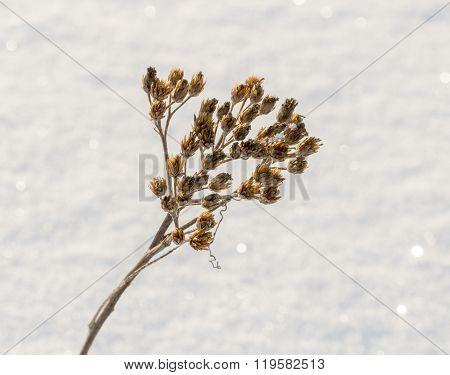 Cow Parsley In Winter