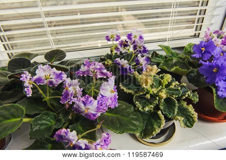 African Violet, Saintpaulia Flower On Window Sill