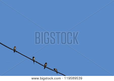 Four swallows are sitting on electric wire