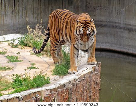 Tiger walking in the zoo