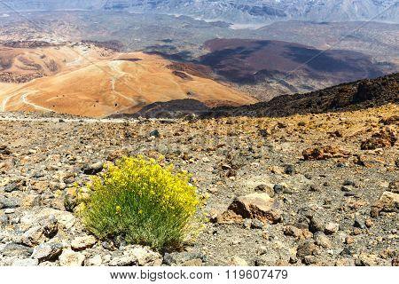 Dry Bush Growing In The Caldera Of A El Teide Volcano, Tenerife, Spain