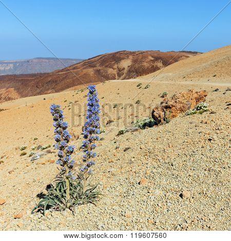 Violet Flowers Growing In The Caldera Of A El Teide Volcano, Tenerife, Spain