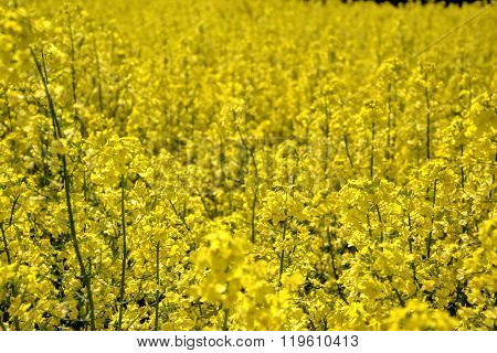 Field of yellow flowering oilseed rape isolated on a cloudy blue sky in springtime (Brassica napus)