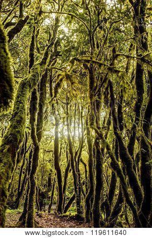 Evergreen forest on La Gomera island