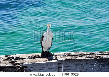 Australian Pied Cormorant: Western Australia