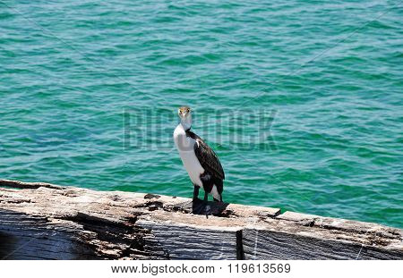 Australian Pied Cormorant with Turquoise Waters