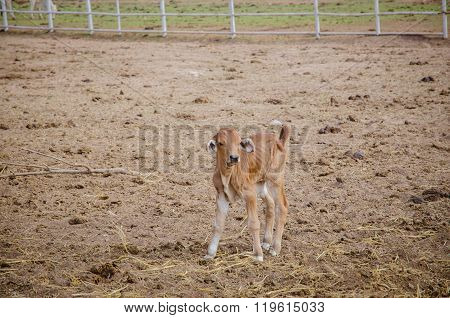 Brown Calf Standing In Farm