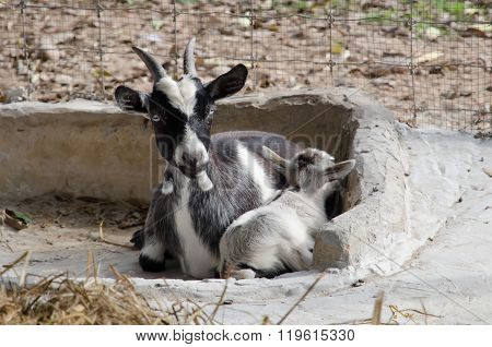 Pygmy Goats In Front Of A Steel Fence