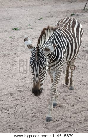 Zebra Portrait In The Farm