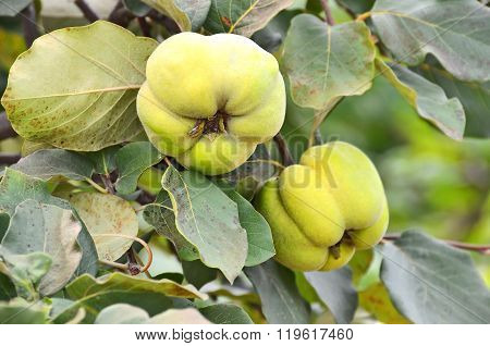 Green Apple-quince On The Branch