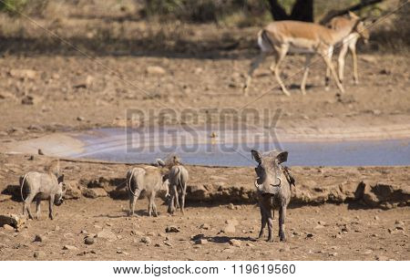 Warthog Family Standing At Waterhole After Drinking