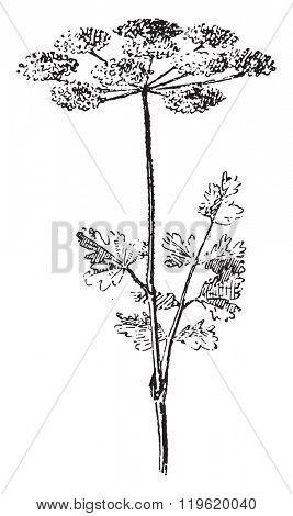 Chervil, vintage engraved illustration. Dictionary of words and things - Larive and Fleury - 1895.