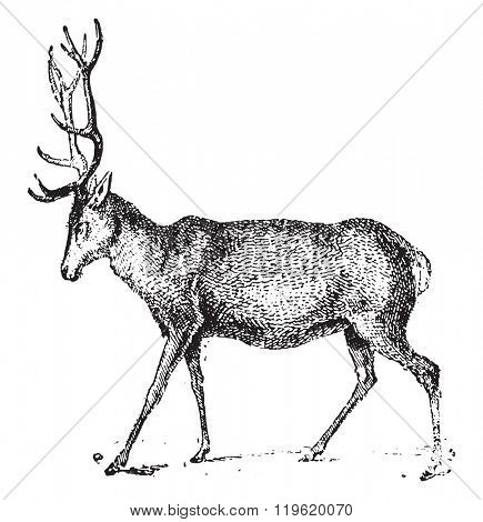 Deer, vintage engraved illustration. Dictionary of words and things - Larive and Fleury - 1895.
