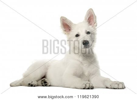 White Swiss Shepherd puppy lying down and looking at the camera, isolated on white
