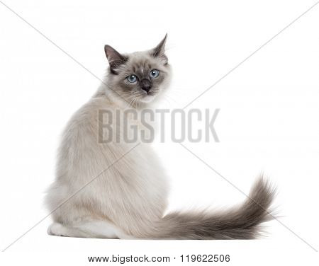 Rear view of a Neva Masquerade sitting and looking at the camera, isolated on white