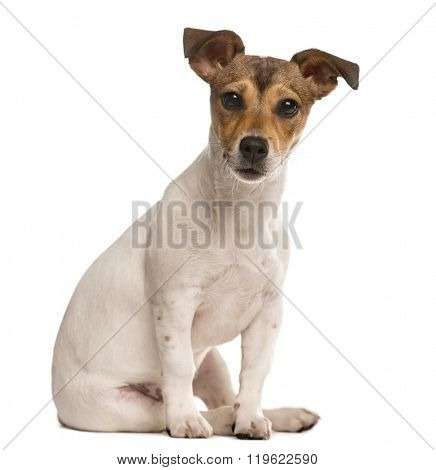 Jack Russel sitting and looking at the camera ,isolated on white (5 months old)