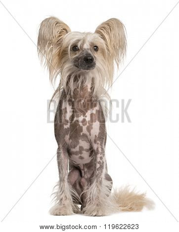 Chinese Crested Dog sitting and looking away, isolated on white (5 years old)
