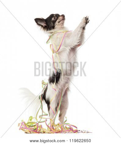 Chihuahua partying on his hind legs and pawing up, isolated on white (1 year old)
