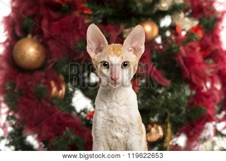 Close up of a Cornish Rex kitten in front of a Christmas tree and looking at the camera (4 months old)