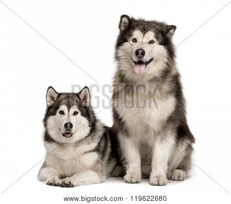 Malamute couple sitting and lying down, sticking the tongue out and looking at the camera, isolated on white (7 years old)