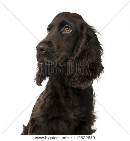 Close up of a English Cocker Spaniel puppy looking away, isolated on white (5 months old)