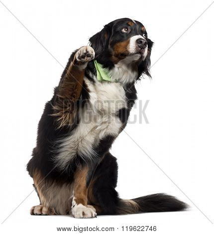 Bernese Mountain Dog with a bandana sitting and pawing up, isolated on white (7 years old)