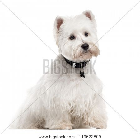 West Highland White Terrier with a collar, sitting and looking away, isolated on white (1 year old)