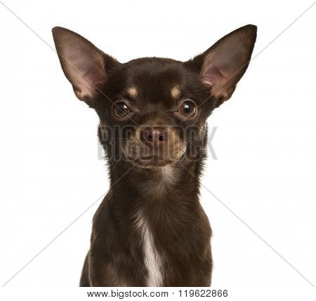 Close up of a Chihuahua puppy looking at the camera, isolated on white (8 months old)