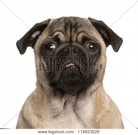 Pug puppy looking at the camera, sticking the tongue out and making a face, isolated on white (5 months old)