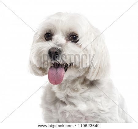 Close up of a Maltese sticking the tongue out, isolated on white (6 years old)