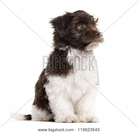 Havanese puppy sitting and looking away, isolated on white (3 months old)