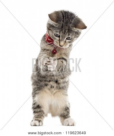 European Shorthair kitten playing with his paws up, isolated on white (2,5 months old)