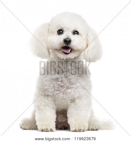Bichon Frise looking at the camera and sticking the tongue out, isolated on white (10 years old)