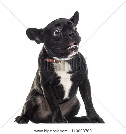 Scared dumb French Bulldog sitting and making a face, isolated on white (1 year old)