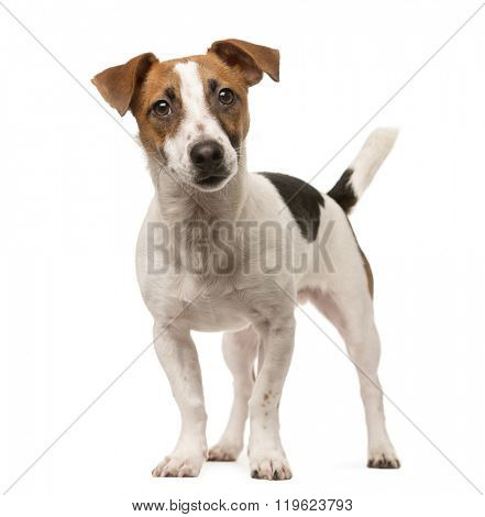 Jack Russell standing up and looking at the camera, isolated on white