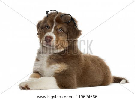 Wise Australian shepherd puppy wearing glasses lying down, isolated on white (2 months old)