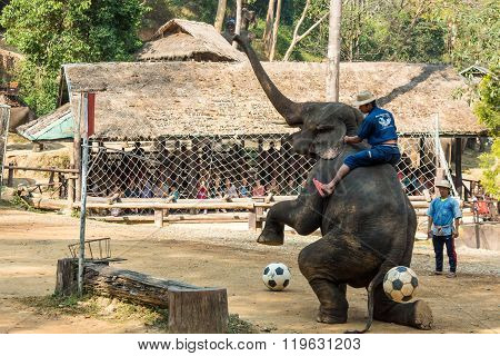 Chiangmai , Thailand - February 20 : elephant raise forelegs bellow and prepare to kick football on February 20 , 2016 at Mae Sa elephant camp , Chiangmai , Thailand