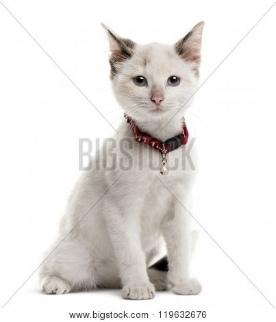 Kitten sitting in front of a white background