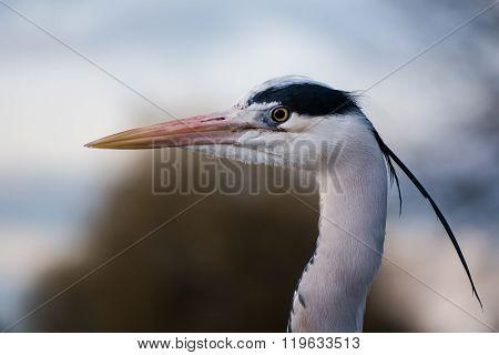 Grey Heron (ardea Cinerea) Head In Profile