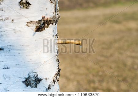 drop birch sap