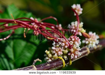 Common dodder (Cuscuta epithymum)