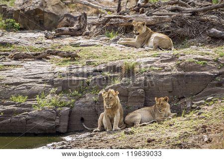 Lion In Kruger National Park, South Africa