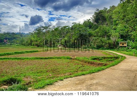 Green Rice Field  In Tana Toraja