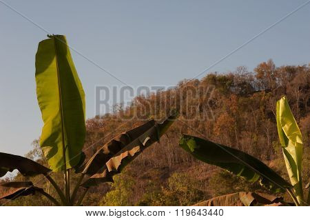 Banana Trees With Small Mountain In Background  Rural Asia.