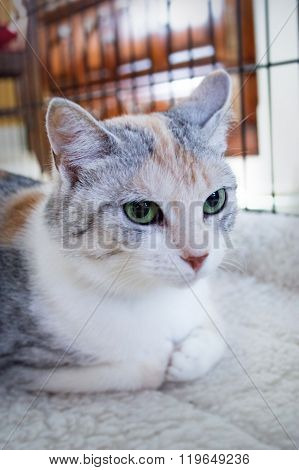 Tortoiseshell-and-white cat