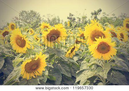 Blooming Sunflower Field.