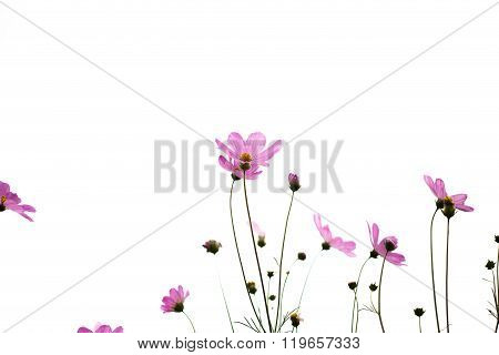 Pink Cosmos Flowers In Garden Close Up